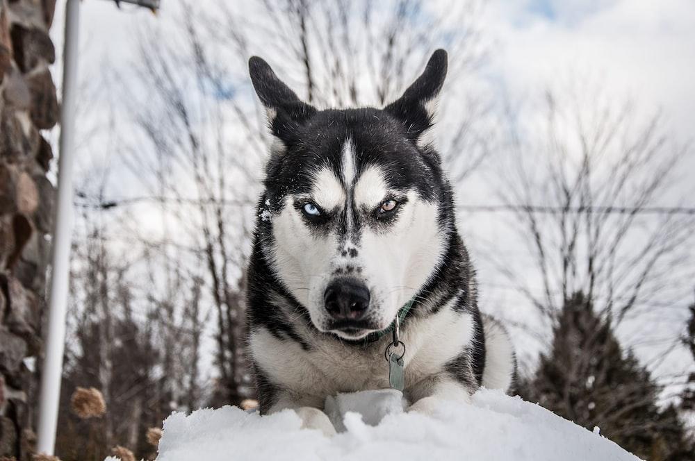 Siberian husky on snow during daytime