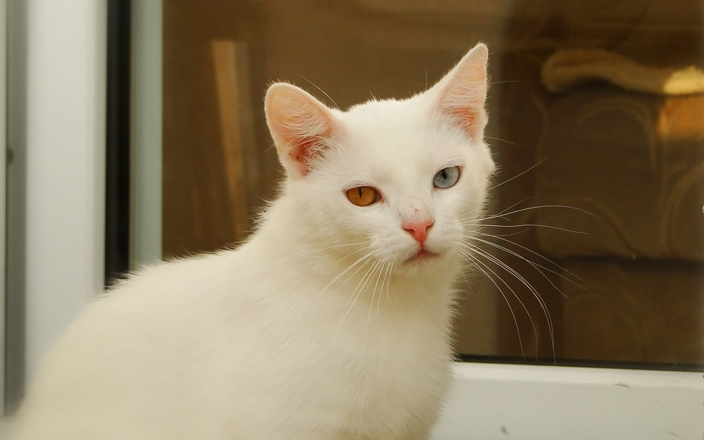White Cat Pictures Hd Download Free Images On Unsplash