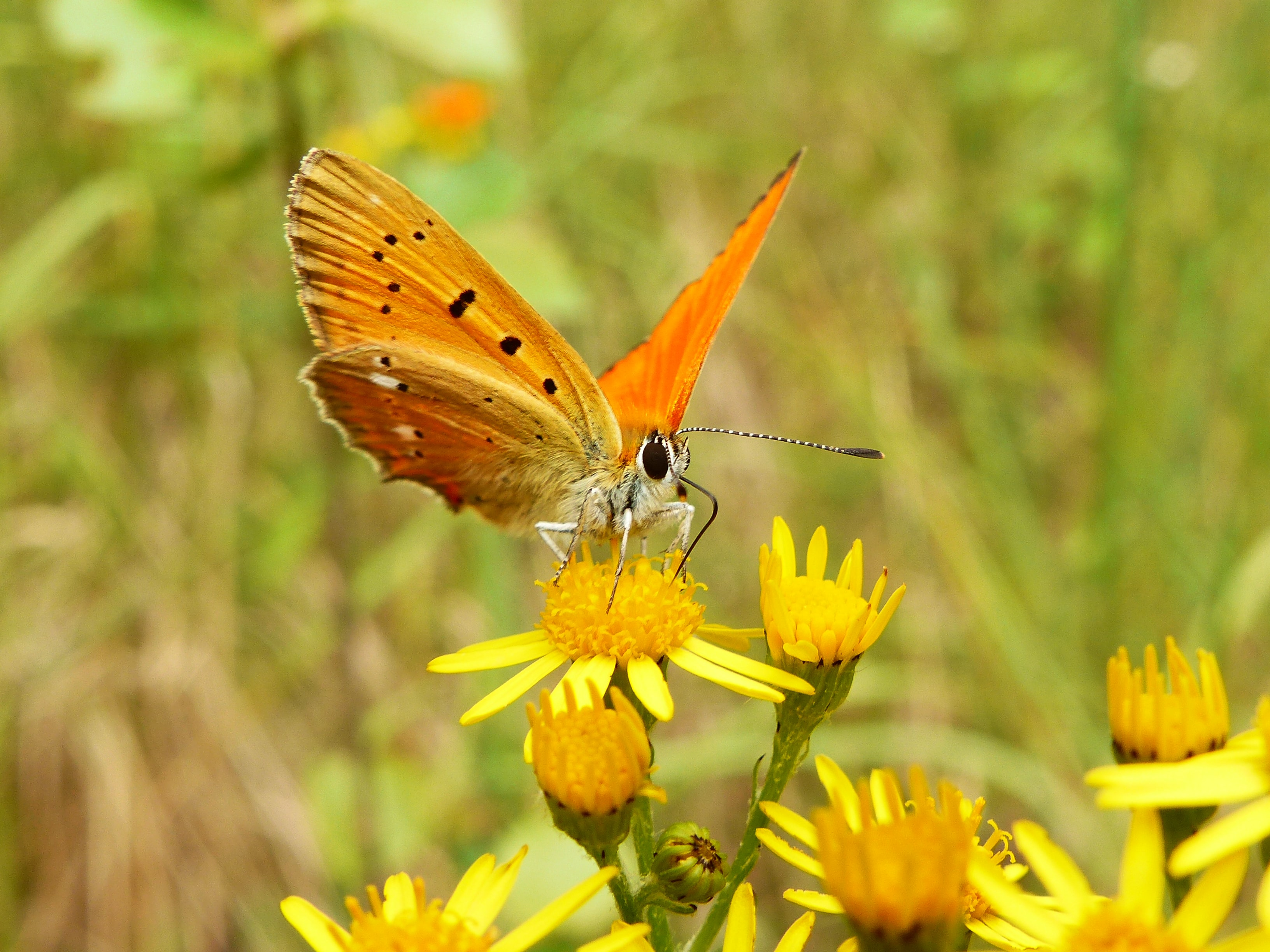 orange butterfly perched on yellow petaled flower