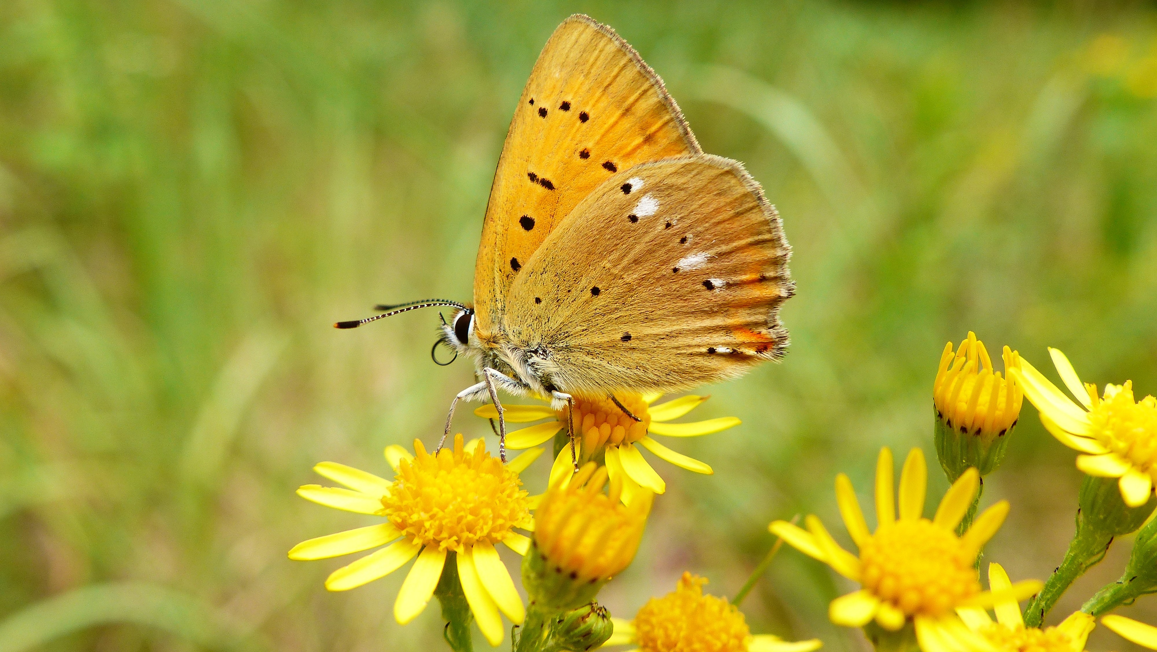brown butterfly on yellow petaled flower