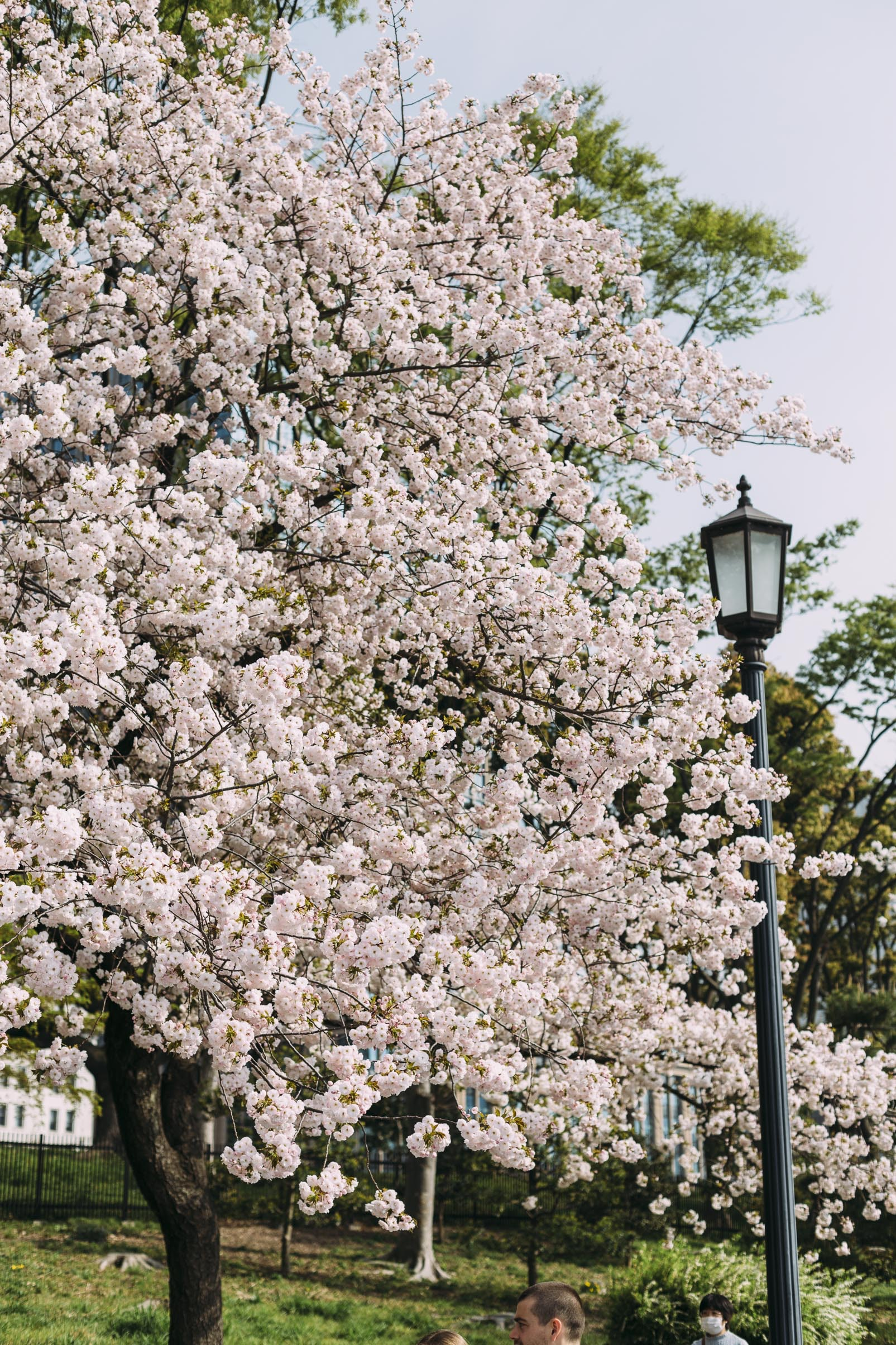 light post beside cherry blossom tree