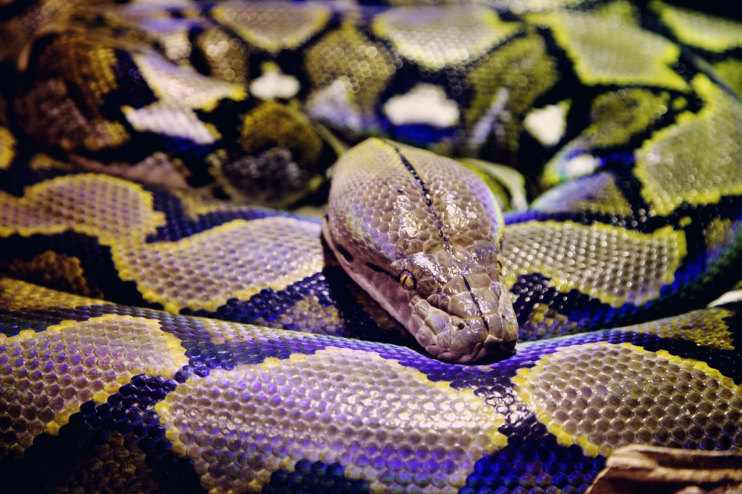 Close up of a resting Boa Constrictor snake.