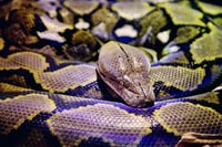 gray and black python