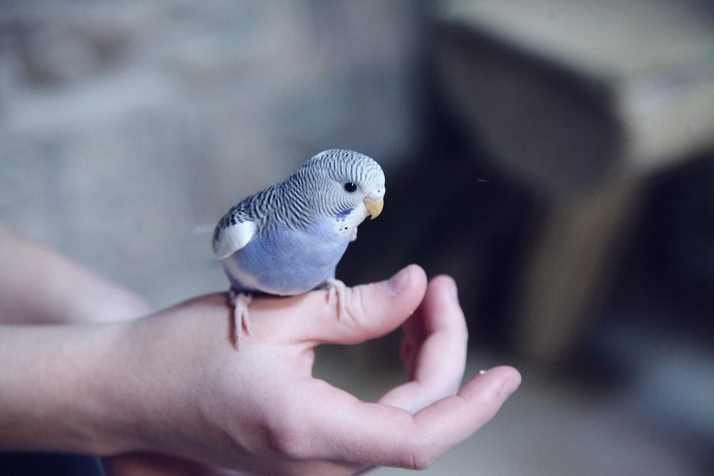 blue parakeet on hand