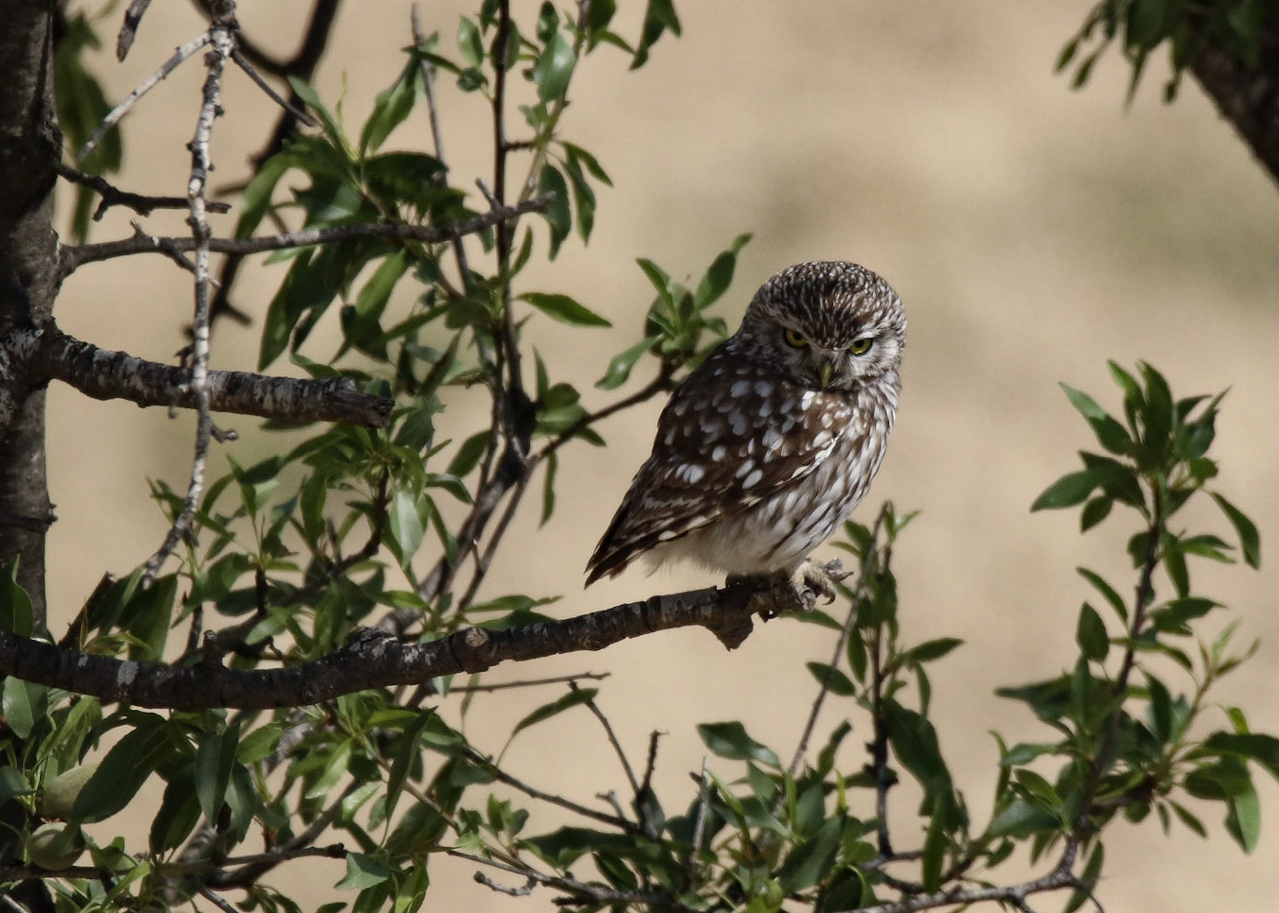 selective focus photography brown owl on tree branch