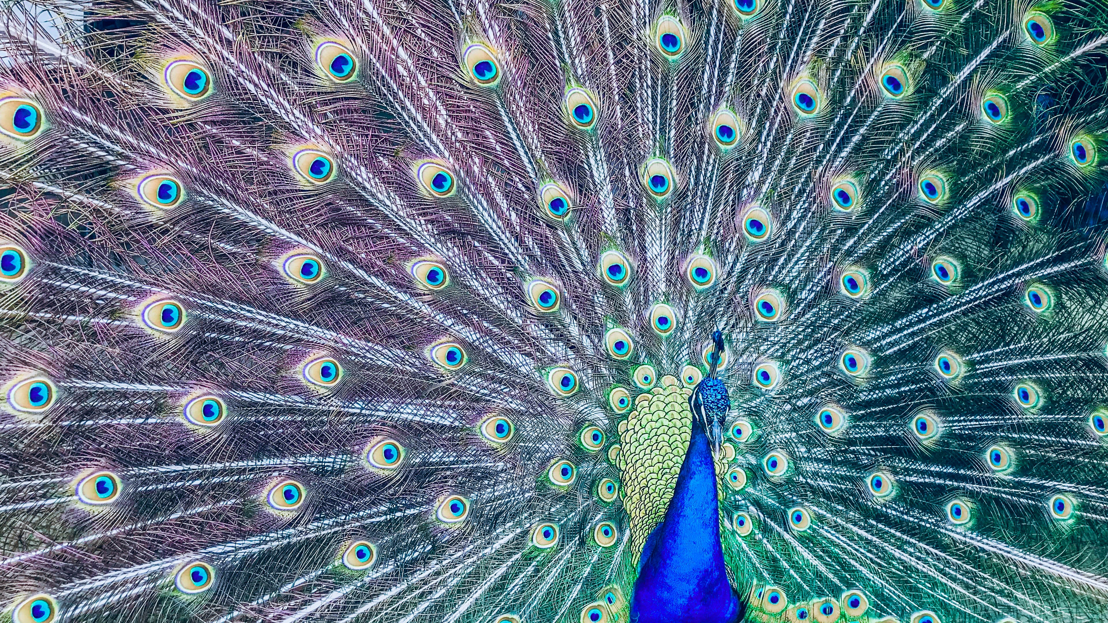 male peacock photo
