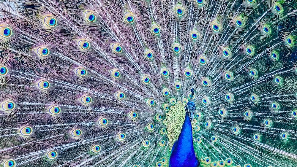male peacock photo