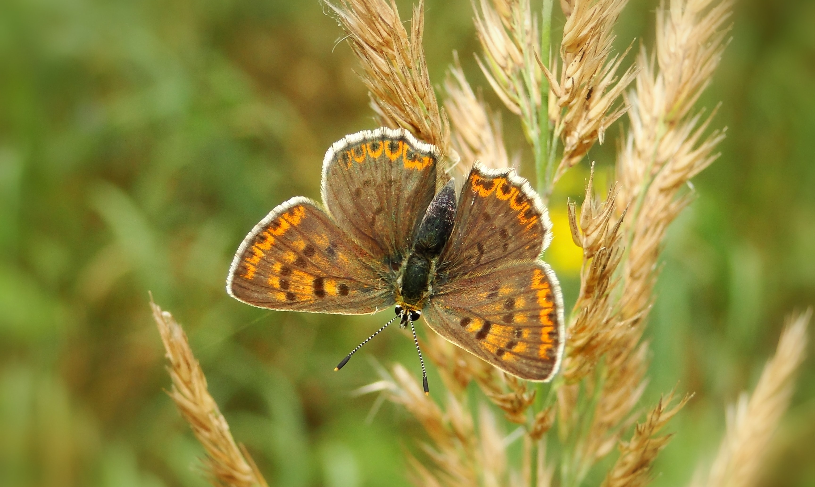butterfly perched on wheat