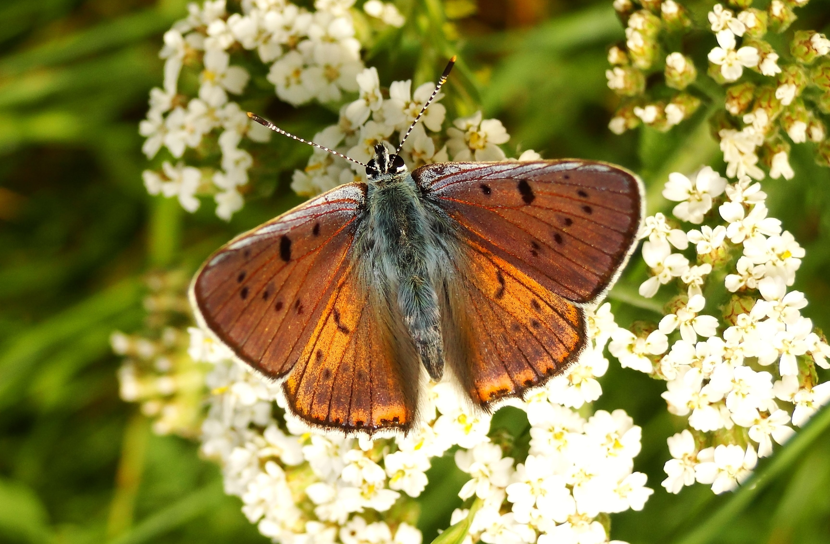brown butterfly perched on flowers