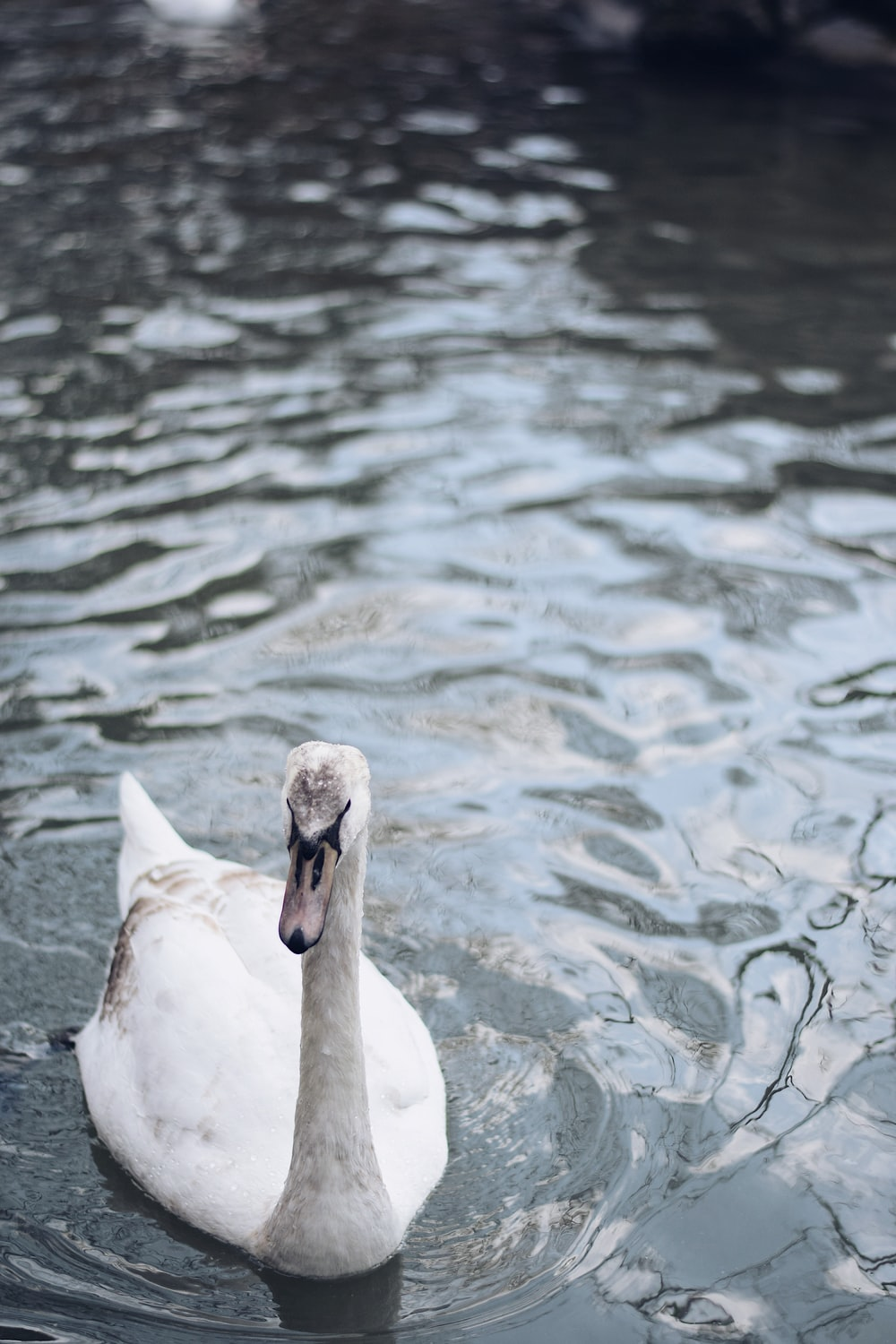white duck in body of water