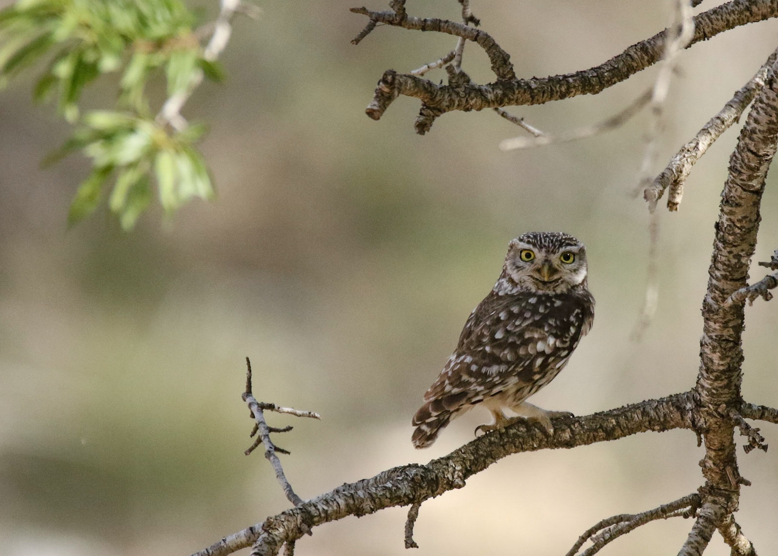 gray and black owl on tree branch