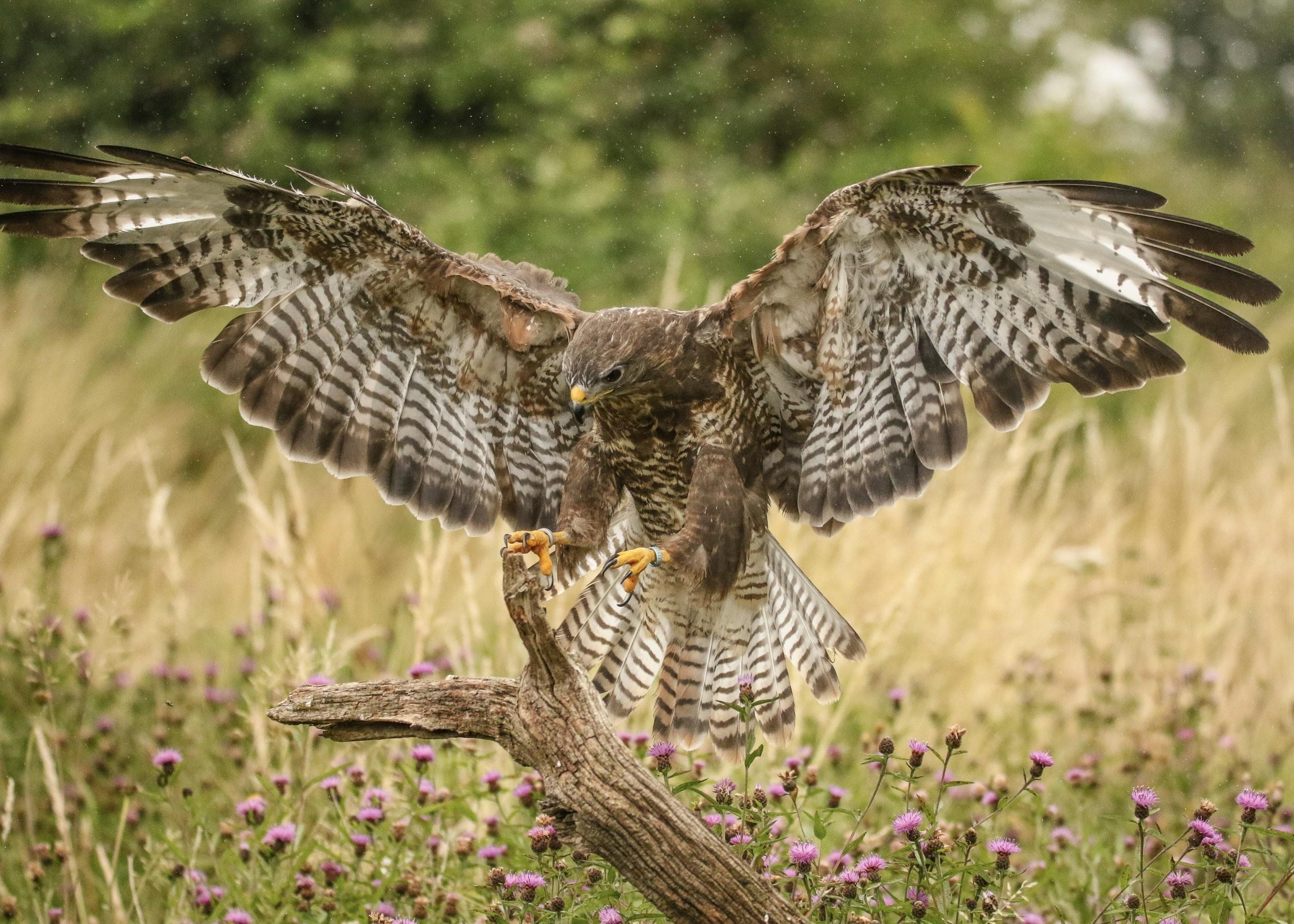 brown hawk landing on tree branch