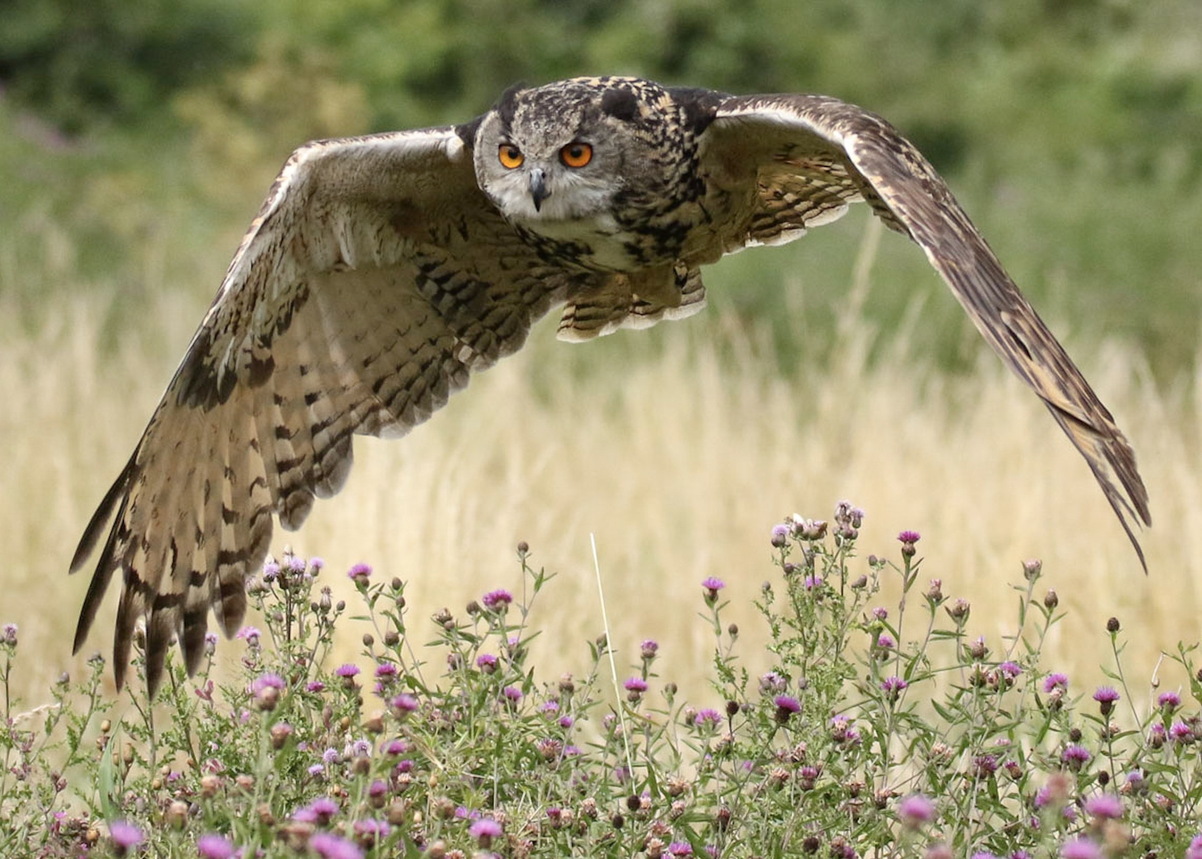 black and brown owl flying on grass field