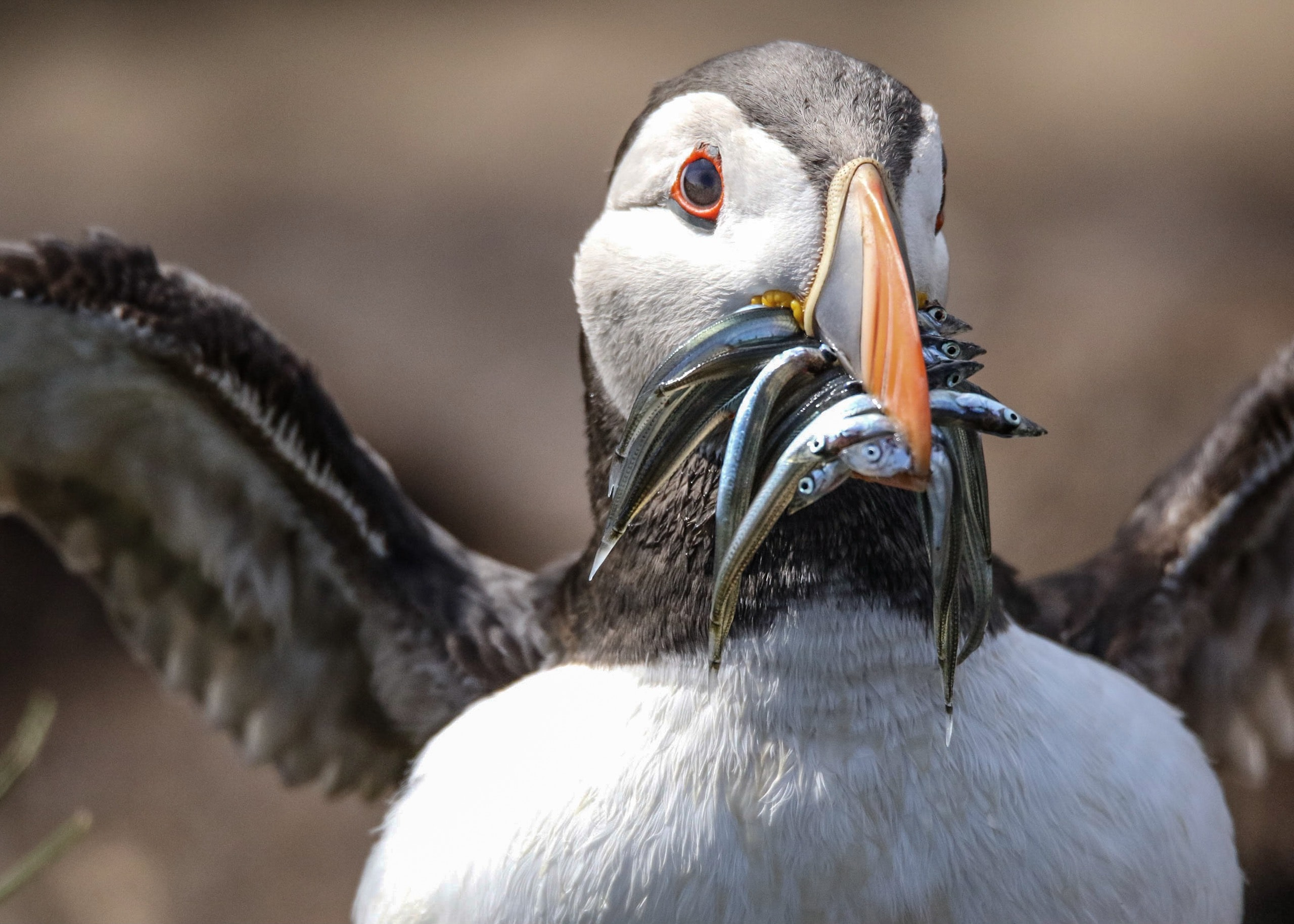 Atlantic Puffin biting fishes