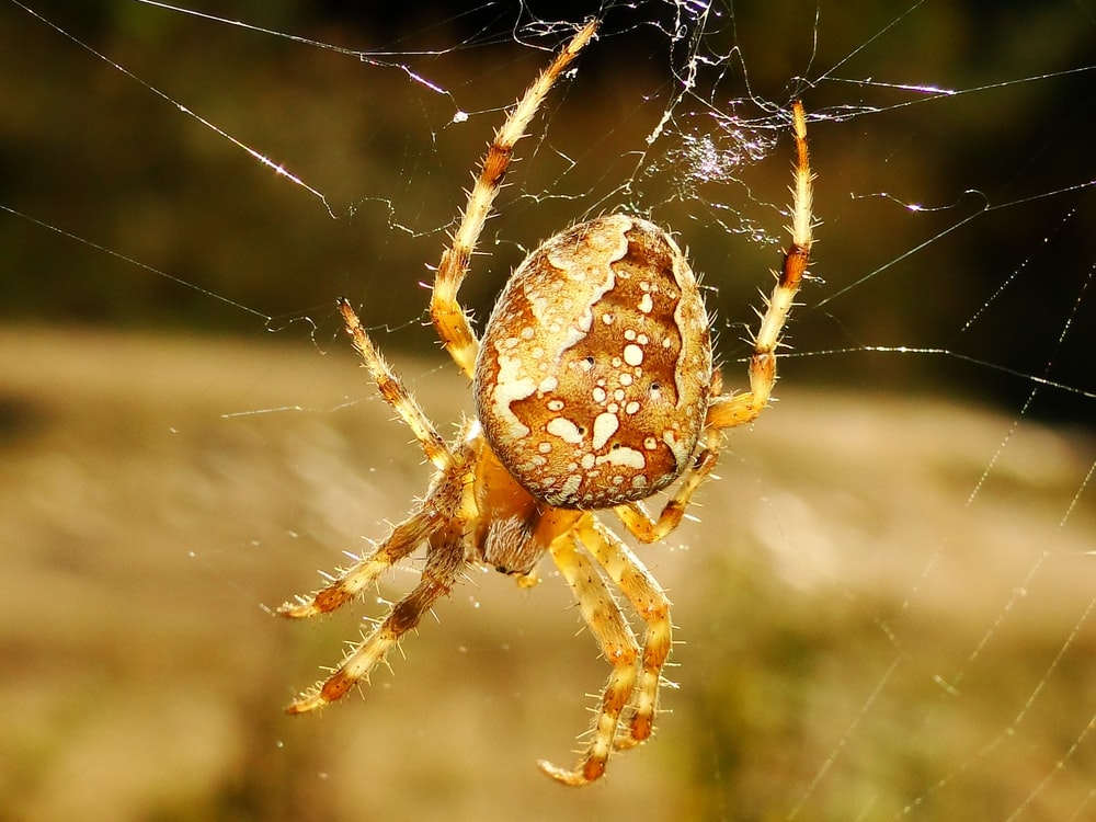 shallow focus photo of brown sipder on web