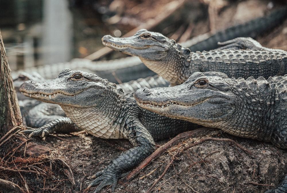 crocodiles on brown soil