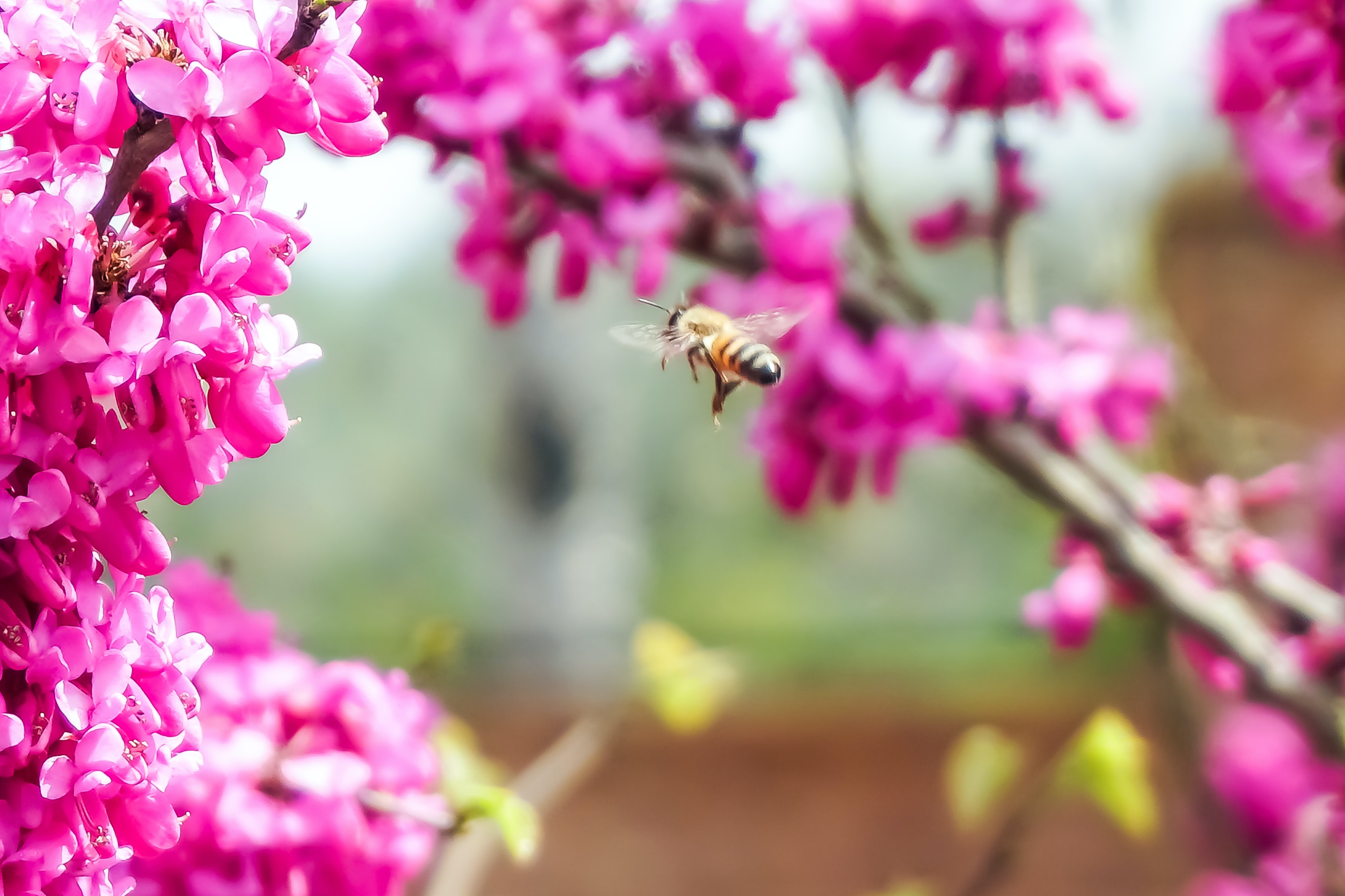 tilt shift lens photography of bee near pink flowers during daytime