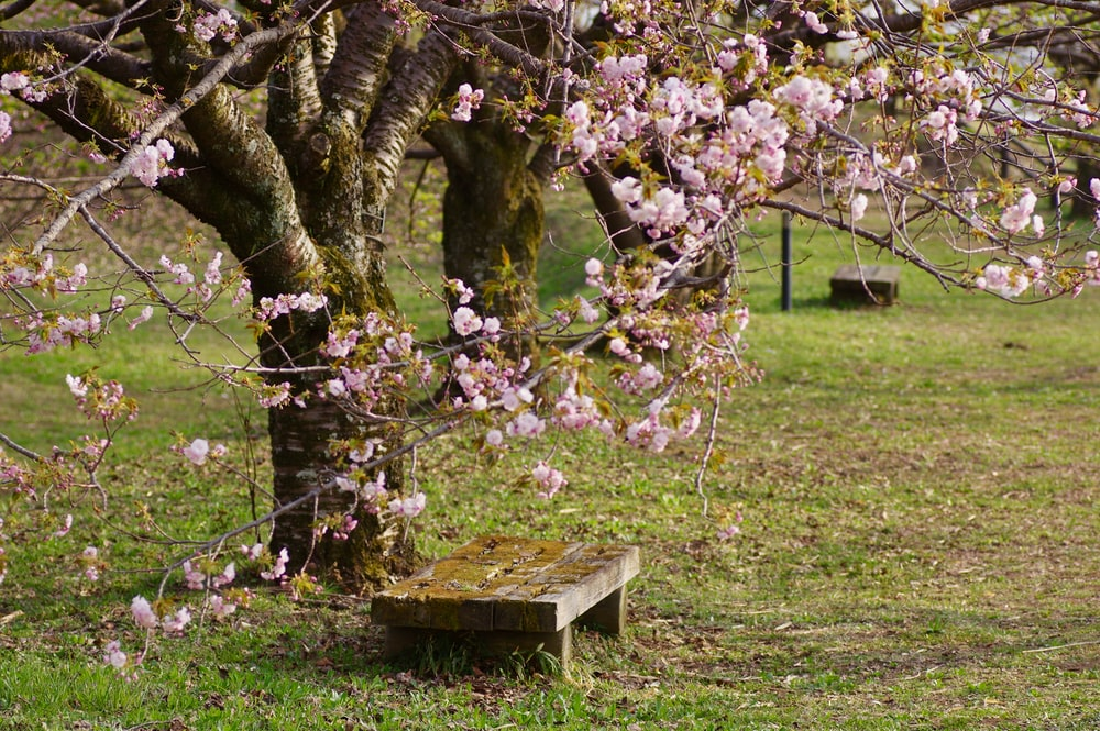 photography of brown wooden bench beside sakura tree