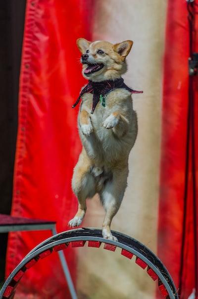 dog balancing on wheel