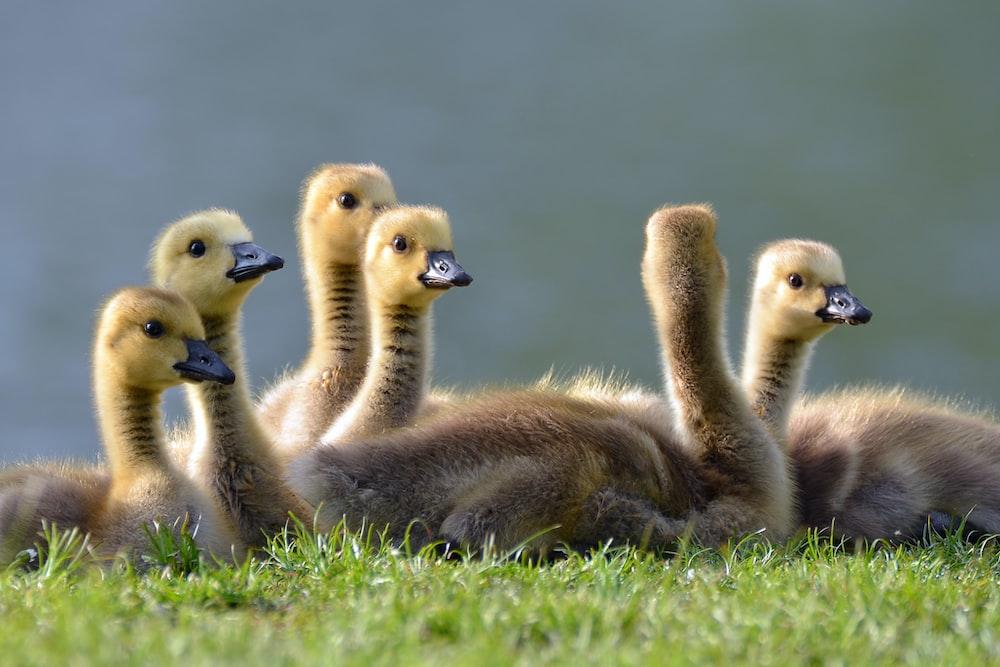 six bird chicks on grass