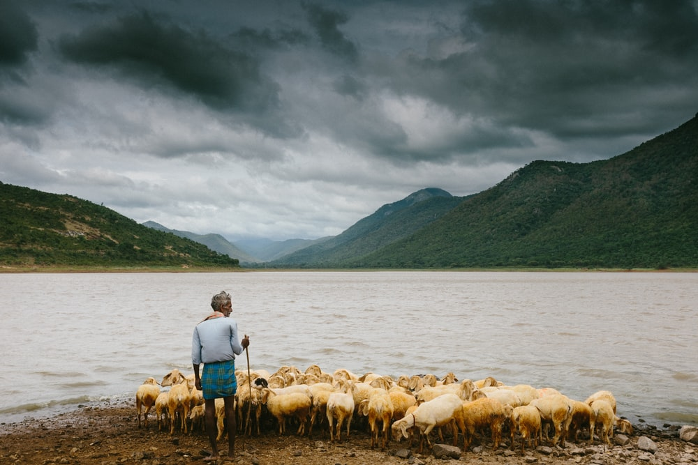 man holding stick and standing near herd of sheep on the seashore