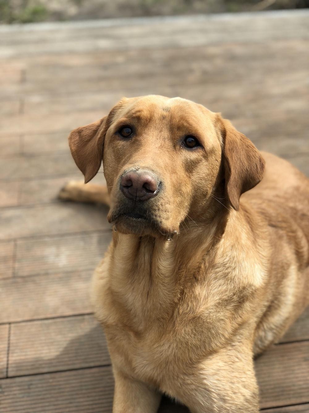 closeup photography of brown dog lying on wood