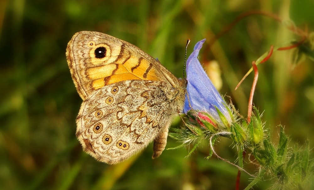 beige and brown butterfly on blue flower during daytime