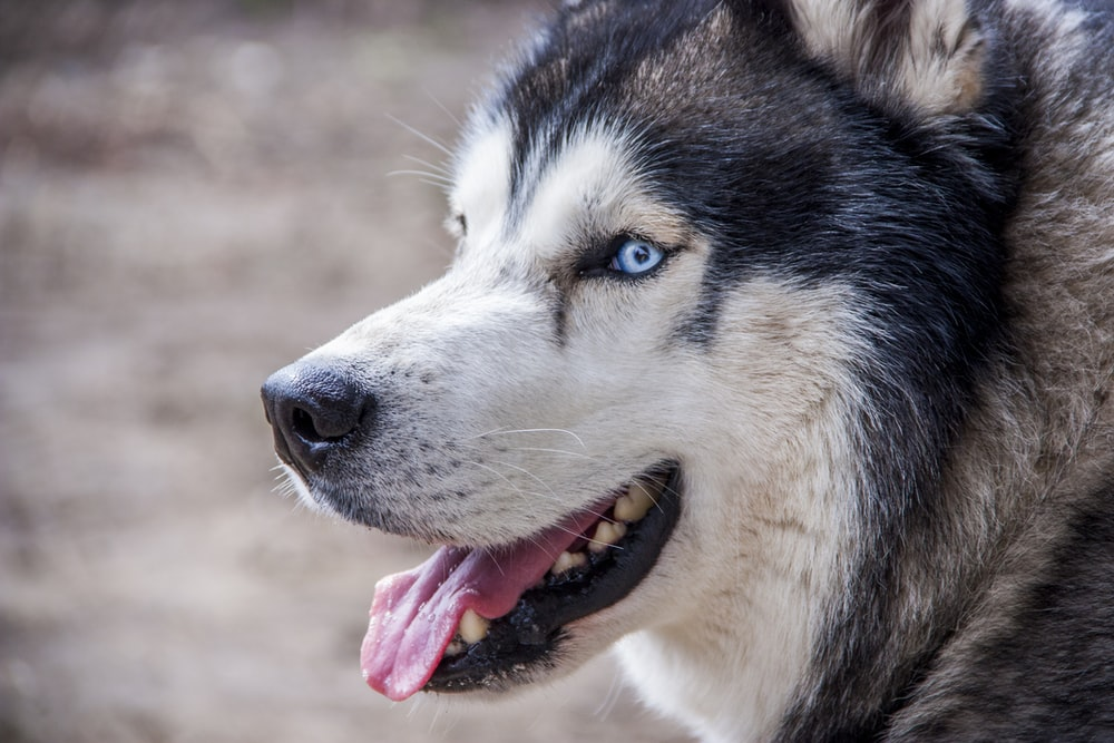 Image result for scary siberian husky video