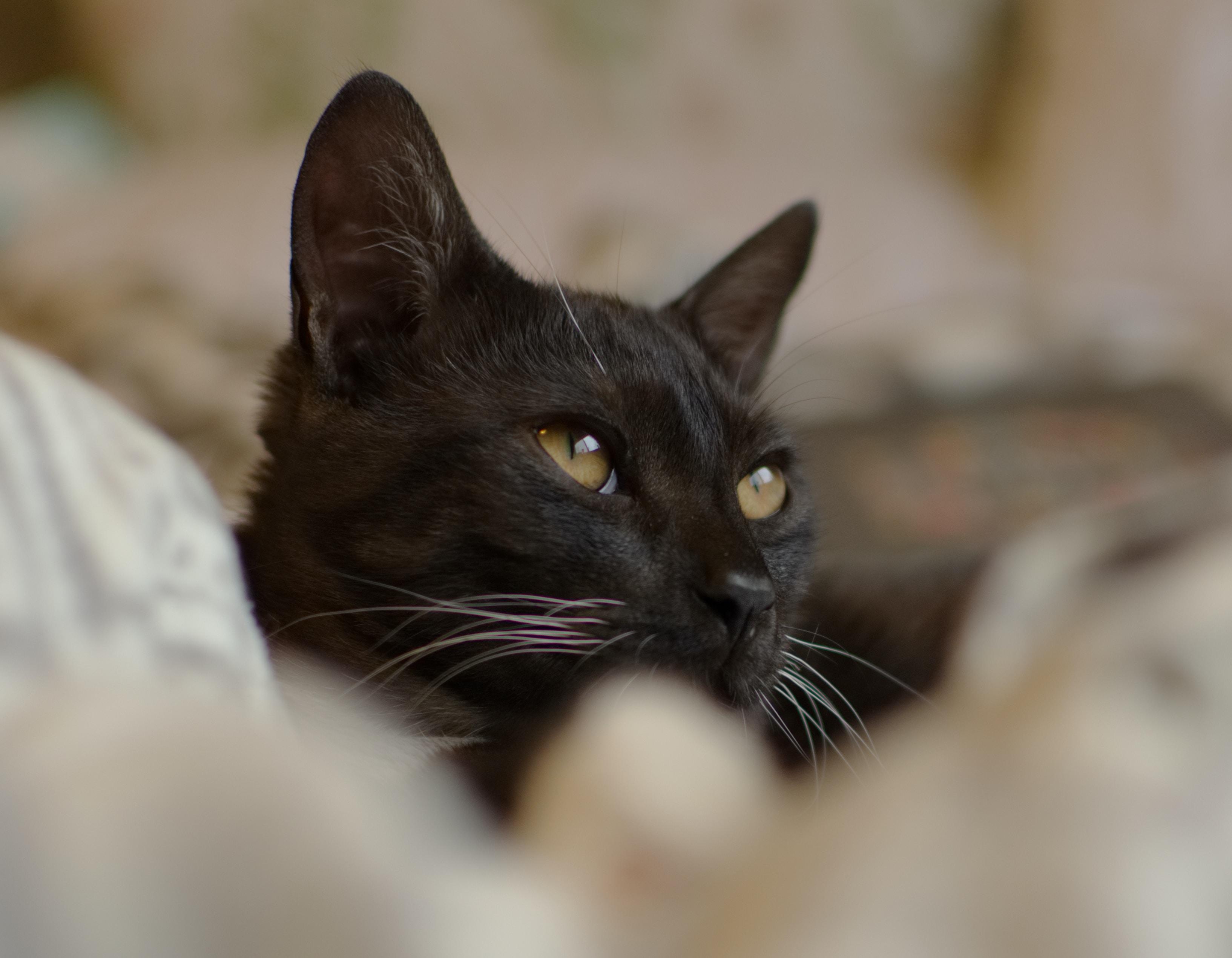 black cat selective focus photography
