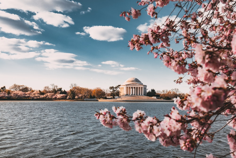 close up photo of cherry blossoms near body of water