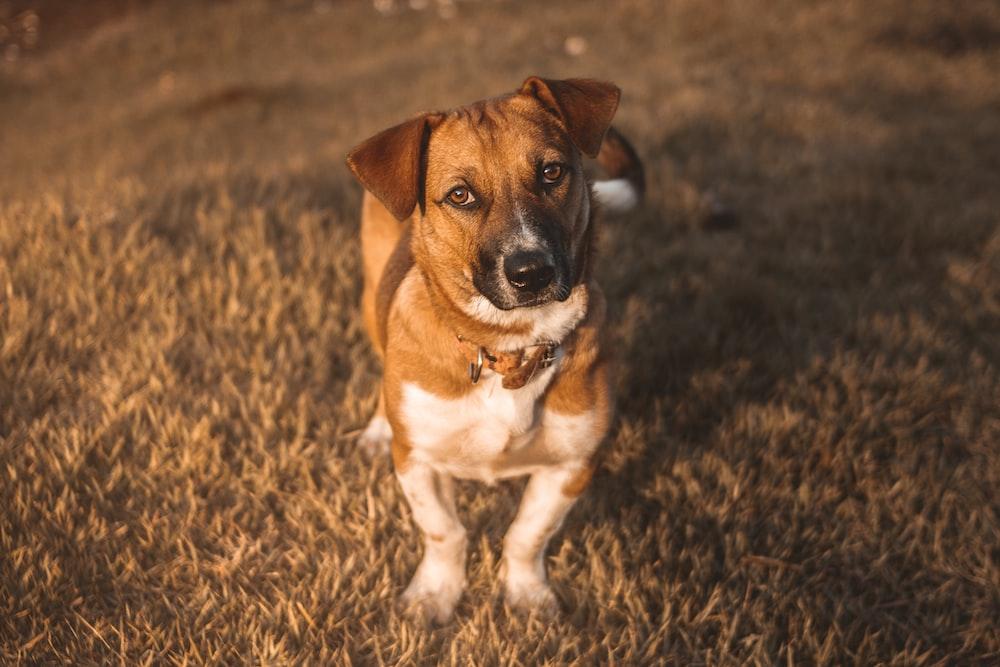 tan dog standing on grass
