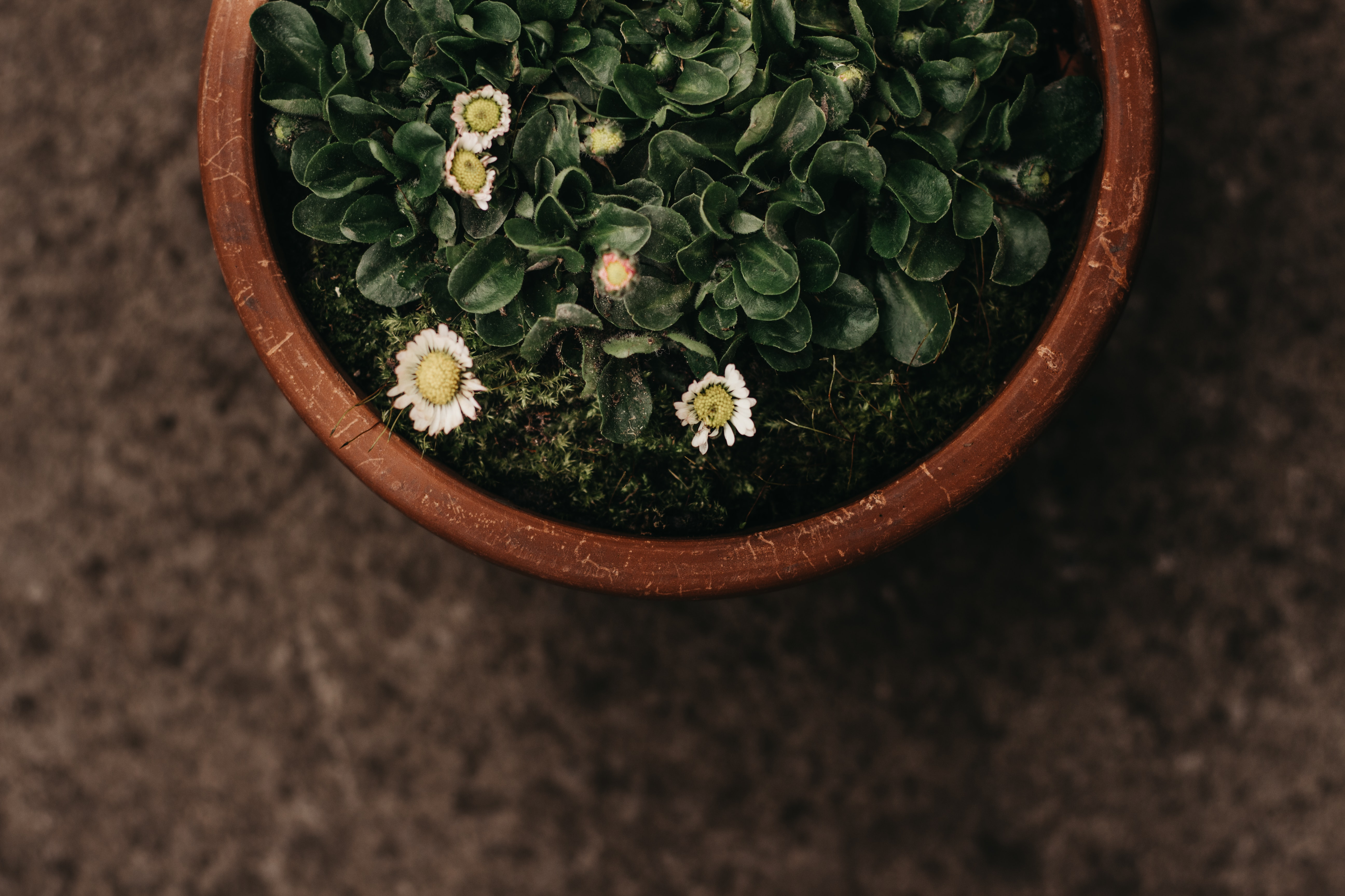 top view photography of white daisy flowers in pot