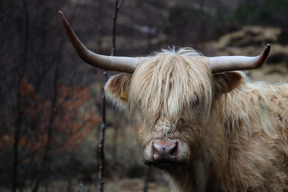 brown longhorn