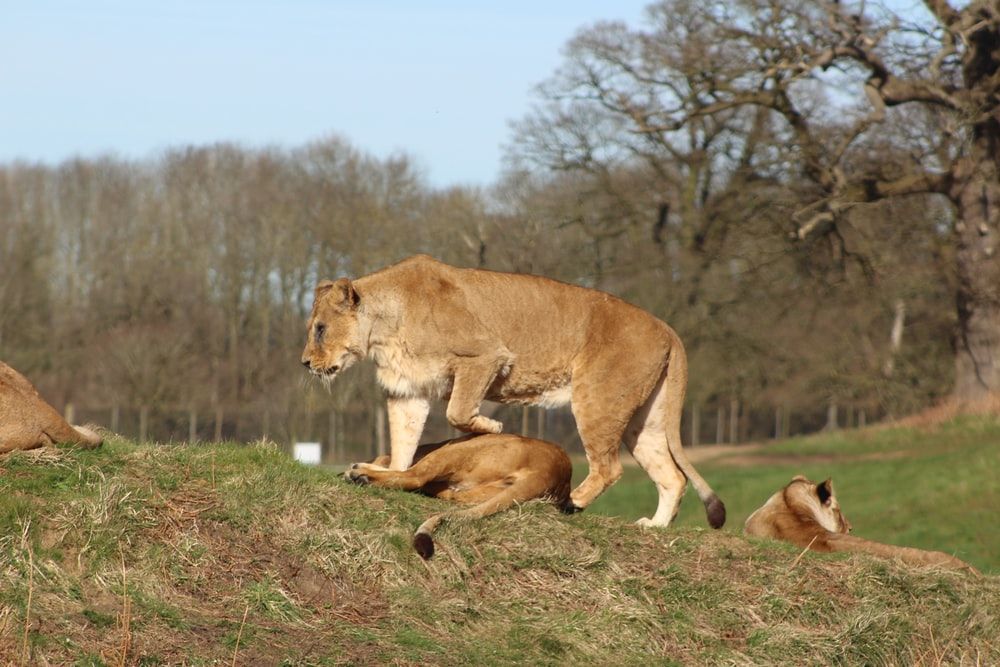 lioness with cub on hill during daytime