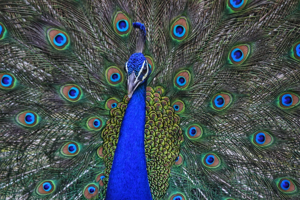 peacock spreading wings