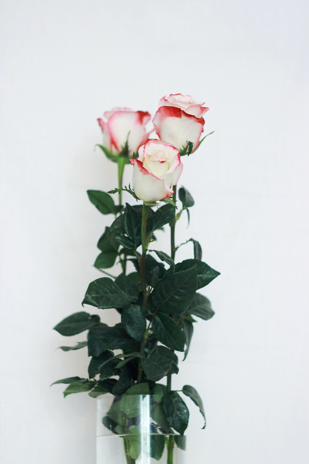 white-and-red roses