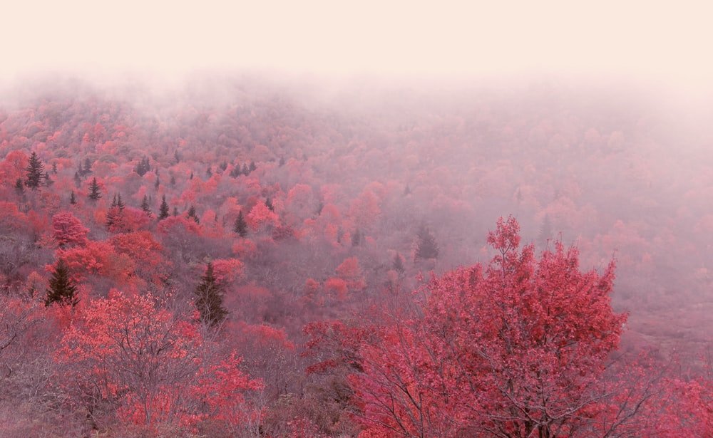foggy red leafed trees