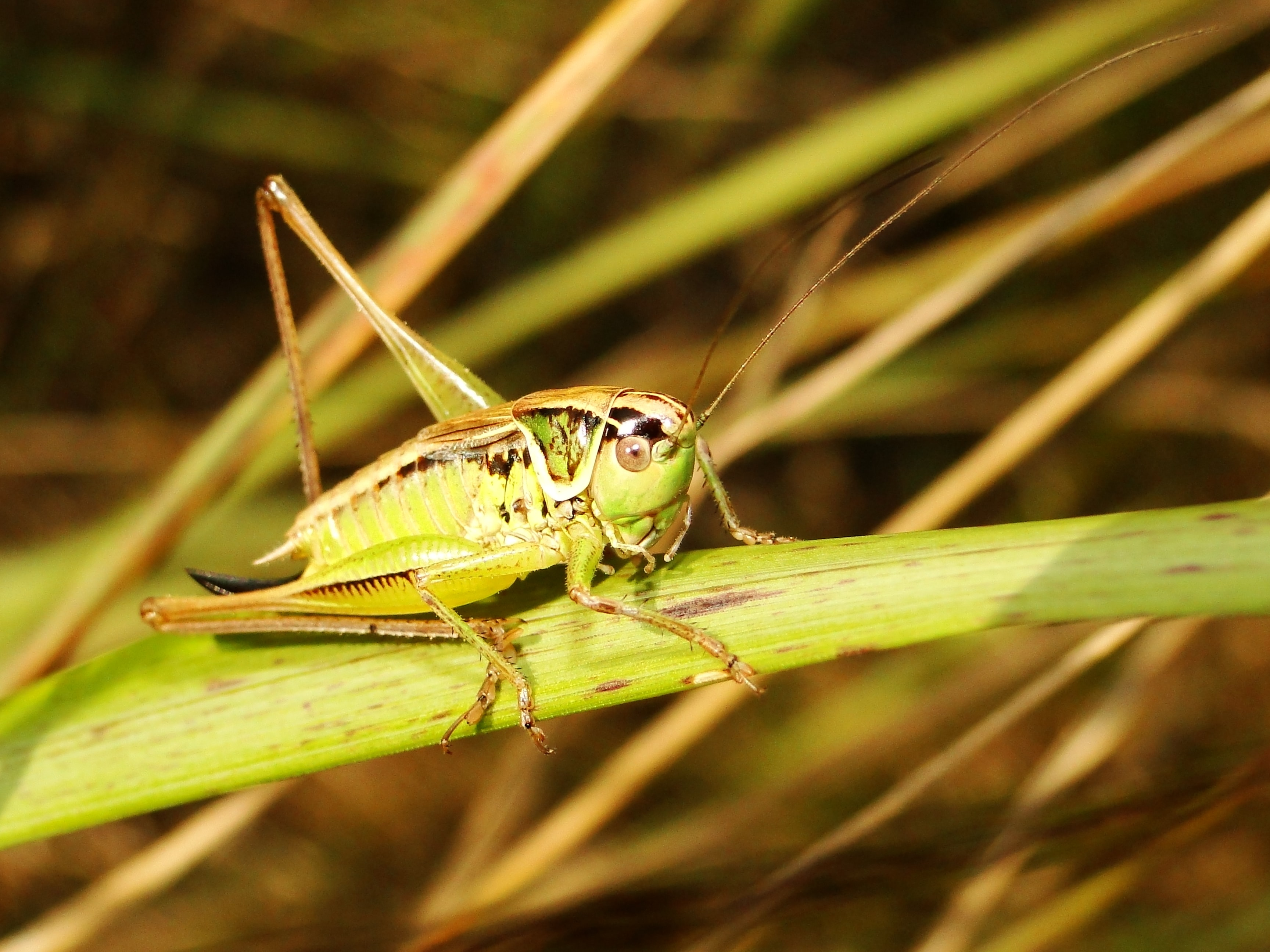 selective focus photography of green grasshopper on leaf