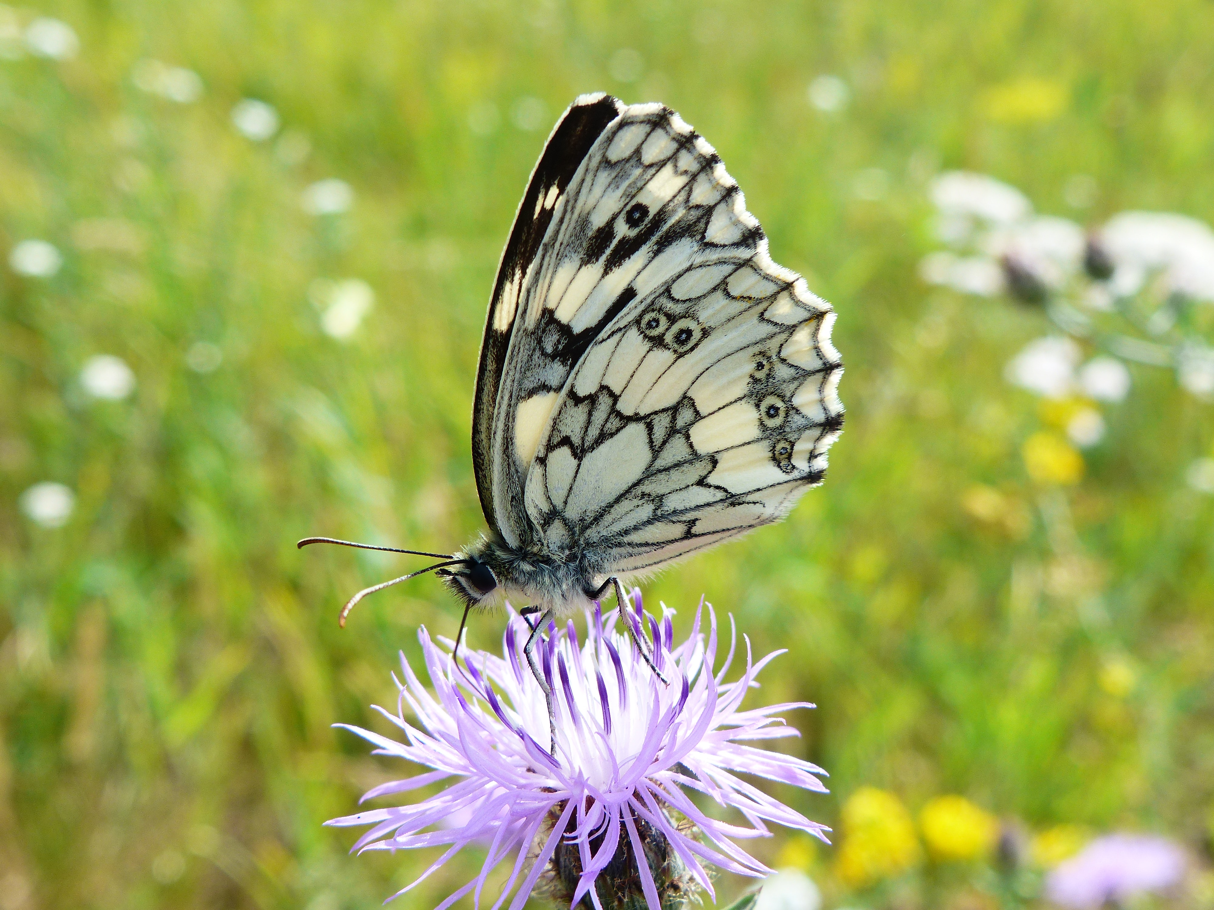 white and gray butterfly on purple flower