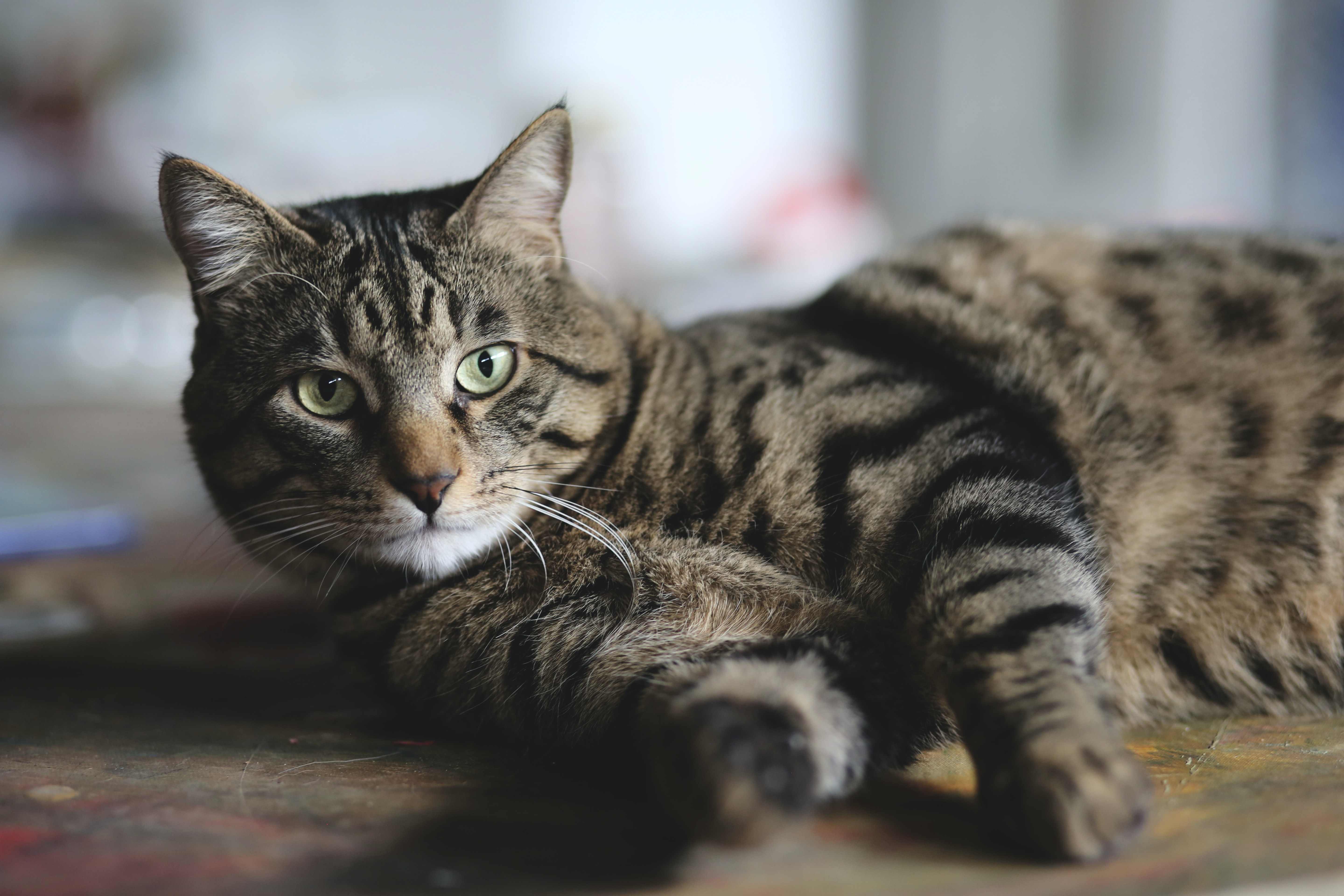 selective photo of silver tabby cat on wooden floor