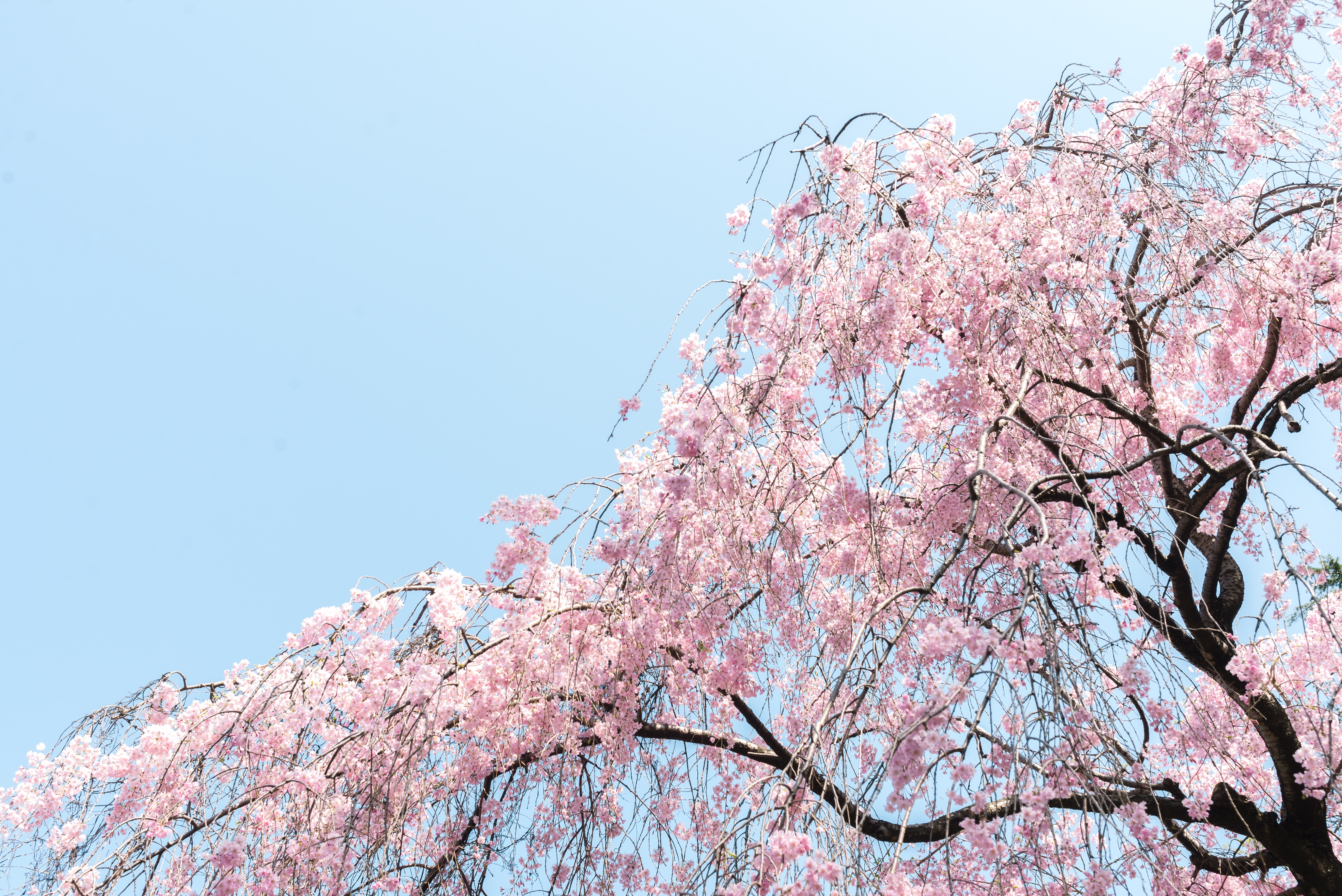 low angle of pink leaf tree
