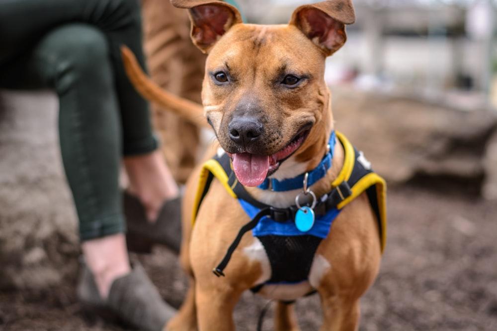 Information On Dog Breed Boston Terrier