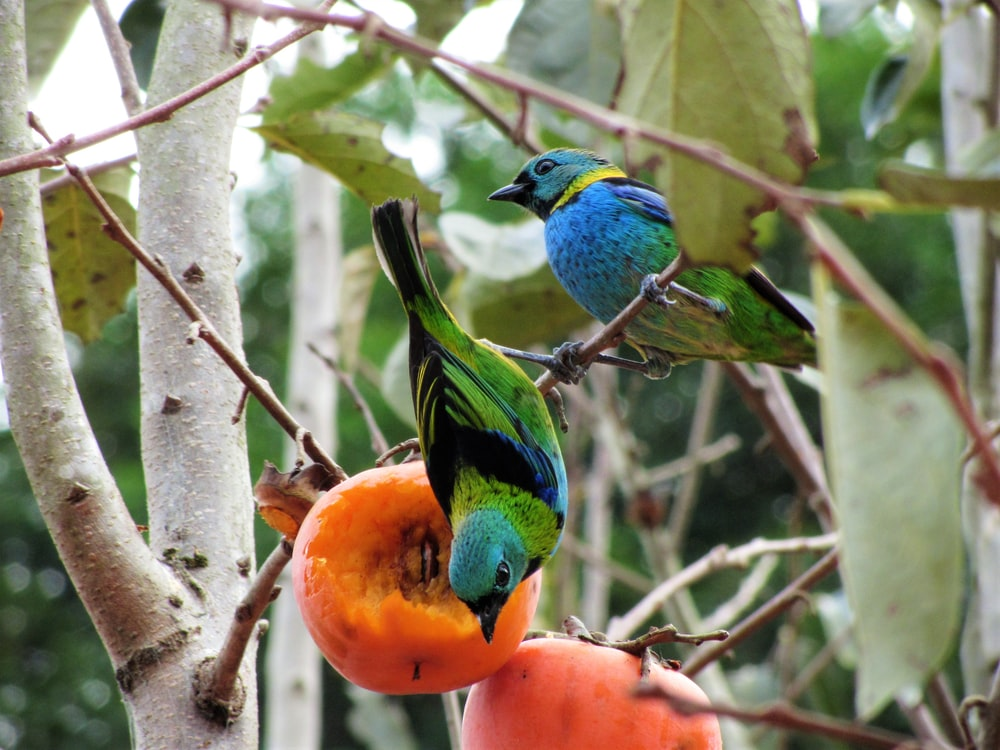 two blue-and0-green birds perched on tree branch in closeup photography
