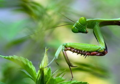 I prefer not to use sprays in my garden, and rather let nature take its course. I was having trouble with grasshoppers eating some of my plants. Not anymore!