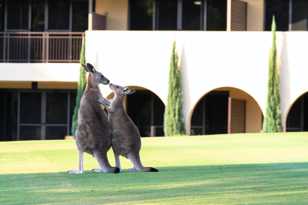 two kangaroo standing in front of building