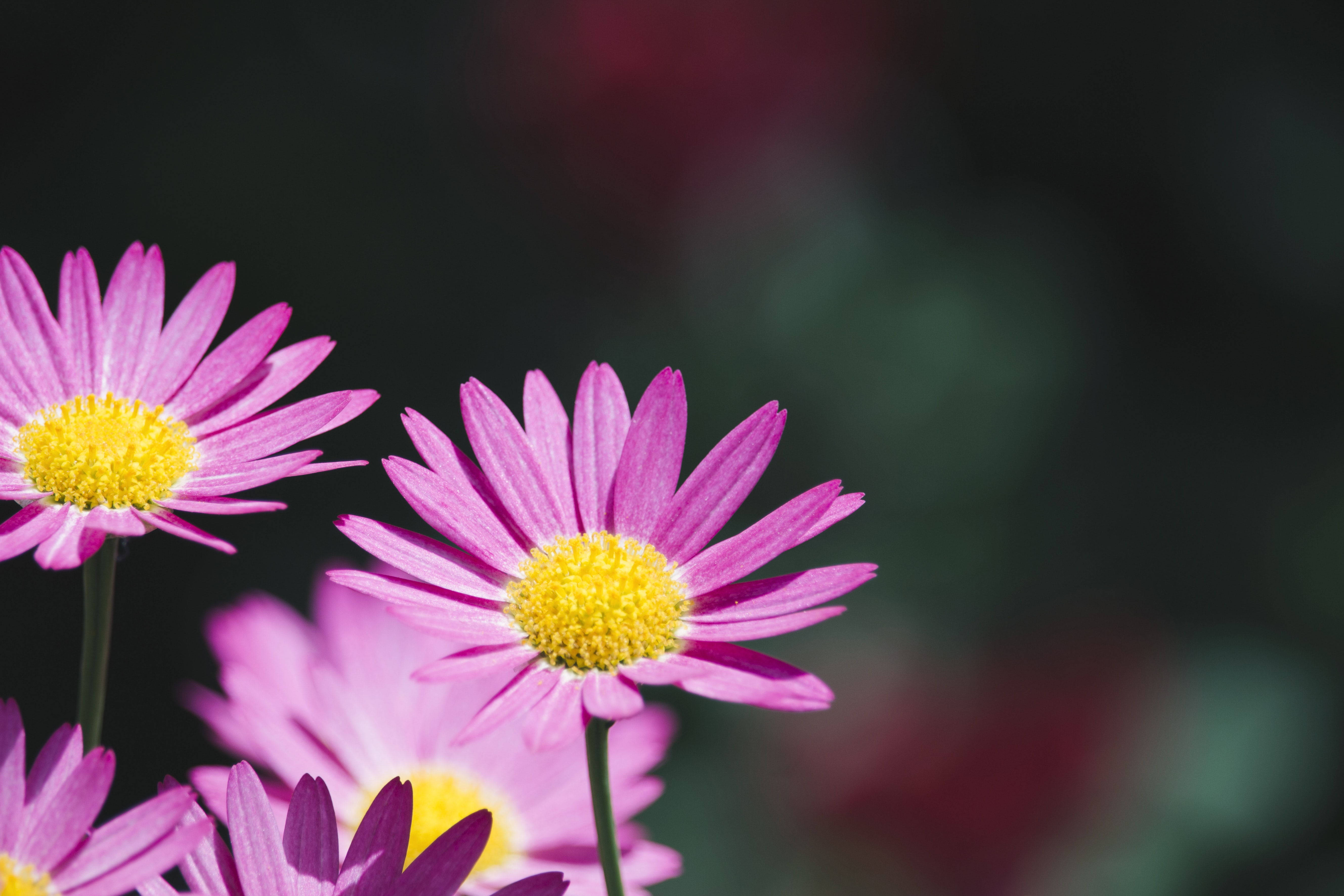 selective focus photography of pink aster flower