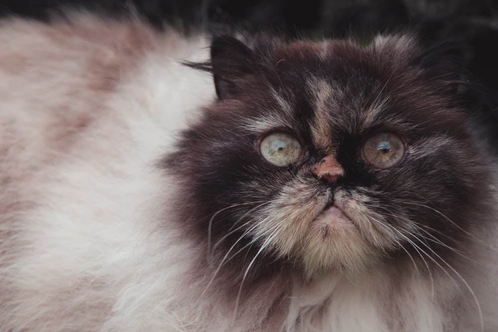 closeup photography white and black Persian cat