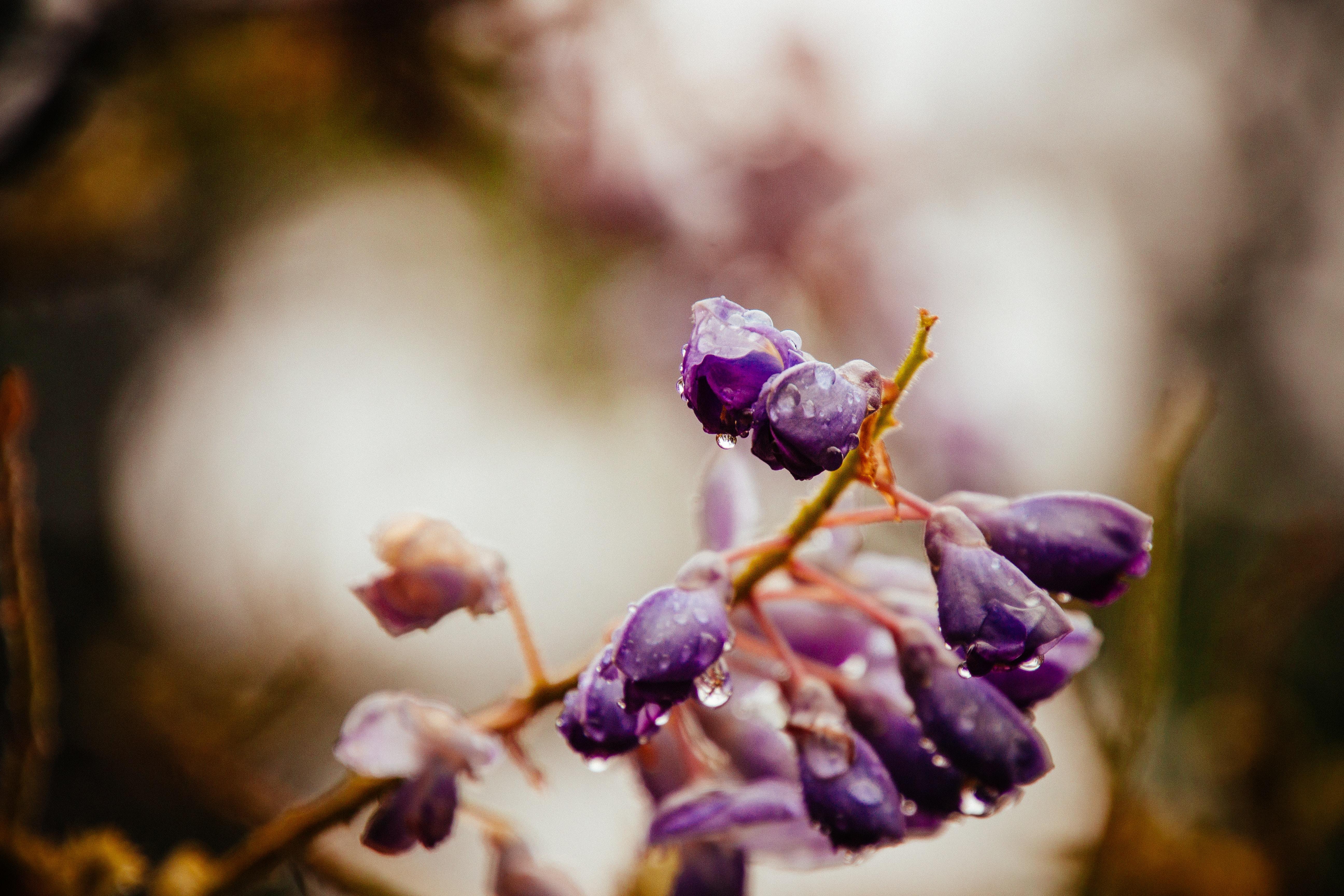 purple flower bud with drew drop of water