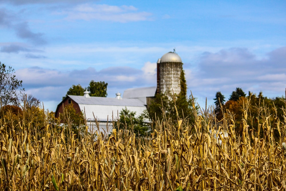 landscape photo of house surrounded by corn field