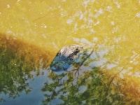 crocodile in brown water